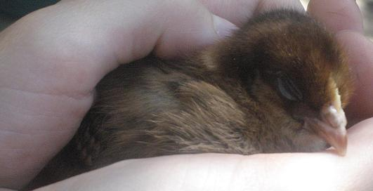 Baby Chickie